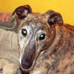 Greyhound of the Month: Tic-Tac