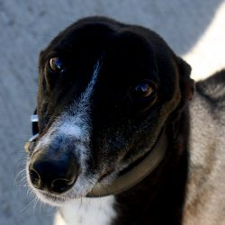 Greyhound of the Month: – Jonah